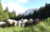 Aide aux ovins et aide aux caprins pour la campagne 2014